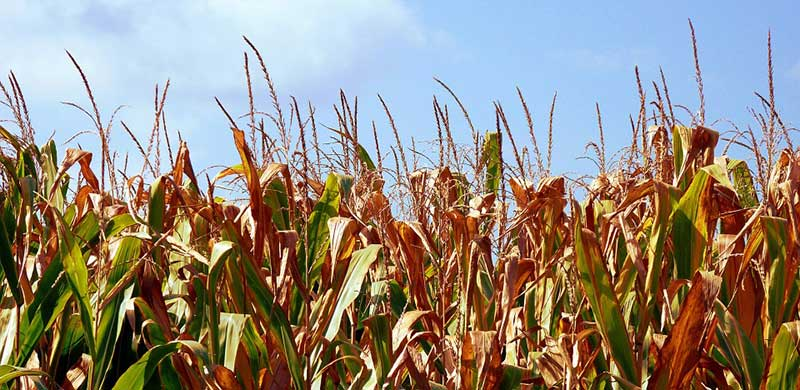 Field of Dead Corn | GMO Corn Lawyer